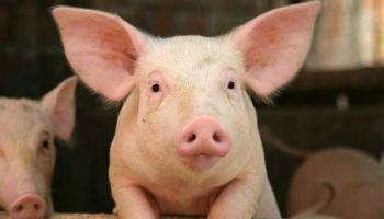 Specific Pathogen-Free Swine Herd