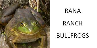 Rana Ranch Bullfrogs