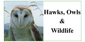 Hawks, Owls & Wildlife