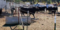 Cattle Artificial Insemination Services